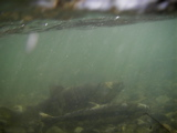 産卵床の鮭