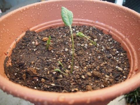 ホースラディッシュ(西洋わさび)の芽